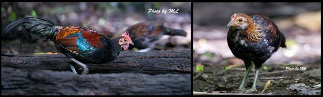 red jungle fowls- male and female