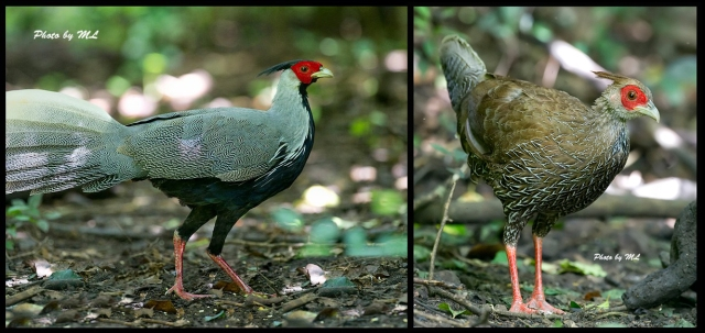 Silver Pheasants- male and female