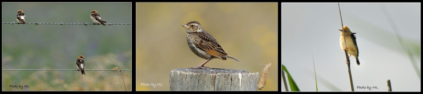 fairy martin, bushlark, golden headed cisticola