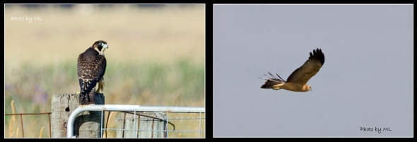 peregrine falcon and spotted harrier