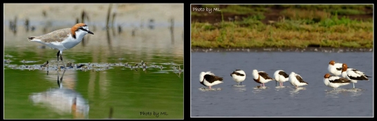 red capped plover, banded stilt, red necked advocet