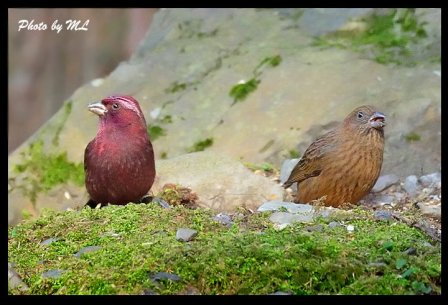 rosefinch male and female