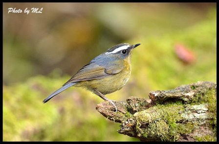 white browed bush robin
