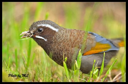white whiskered laughing thrush