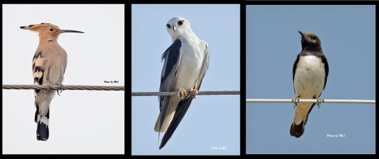 Hoopoe, black winged kite, variable wheatear