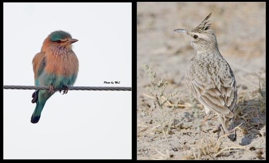 Indian roller, crested lark