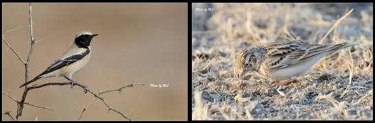 desert wheatear and short toed lark