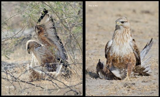 long legged buzzard captured short eared owl