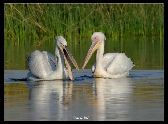 Great white and dalmatian pelican