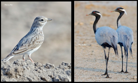 sand lark and demoiselle cranes