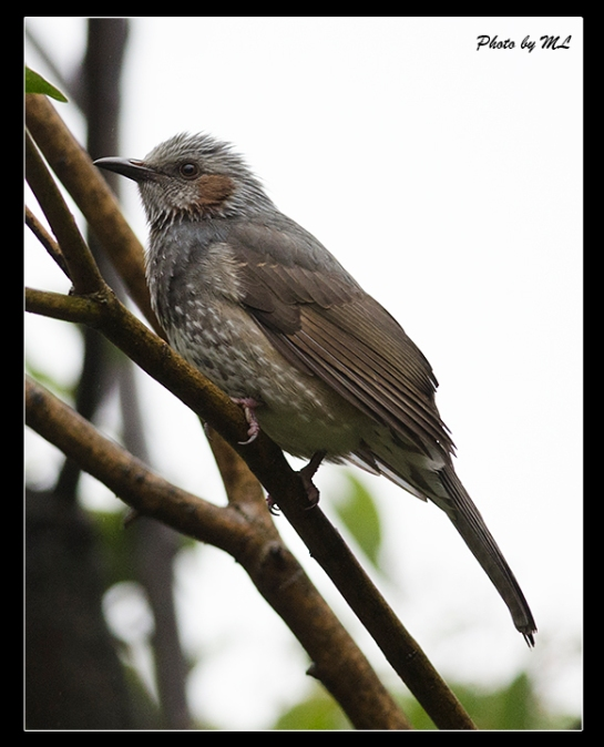 Brown eared Bulbul is a resident in Japan