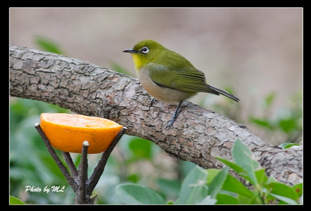 chestnut flanked white eye