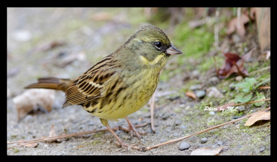 black faced bunting