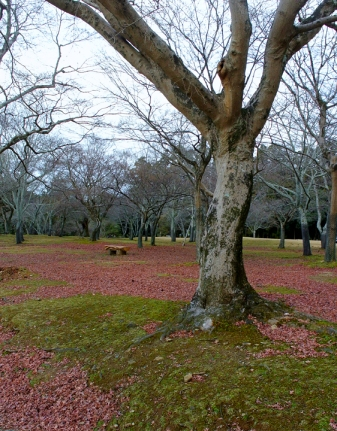 Nara park trees in winter