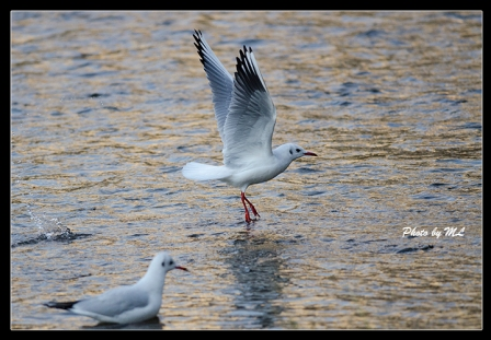 black headed gull in canal