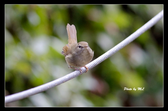 Japanese bush warbler!