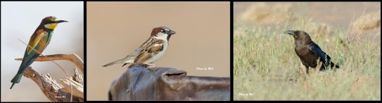 European Bee-Eater, House Sparrow, Brown Necked Raven