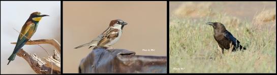 European Bee-Eater, House Sparrow, Brown Necked Raven