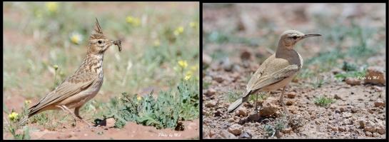 Crested lark and Hoopoe lark