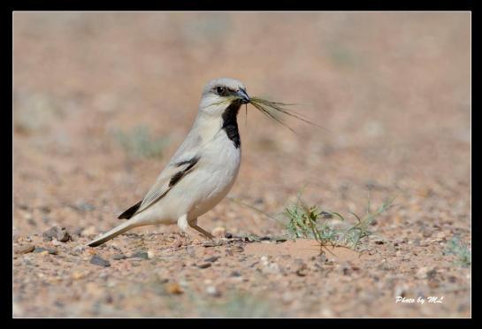 desert sparrow in Sahara Desert