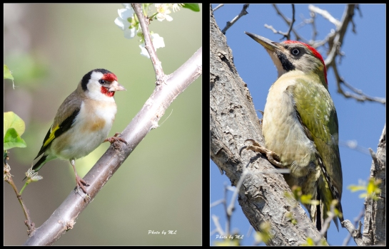 European Goldfinch and Levaillant's Green Woodpecker