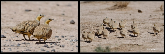Spotted Sandgrouse