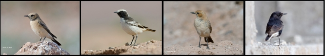 Black Eared Wheatear, mourning wheatear, Red-Rumped Wheatear, Black Wheatear