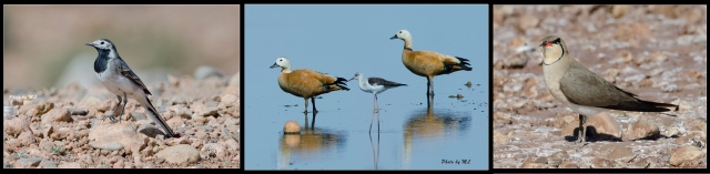 Right to left- collared pratincole, ruddy shelduck, Moroccan wagtail