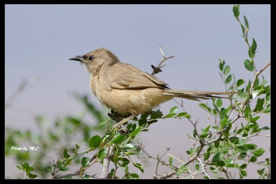 Fulvous Chatterer or Fulvous Babbler