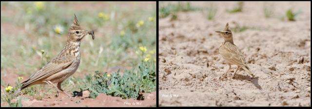 long-billed crested lark (right) and crested lark (left) comparison