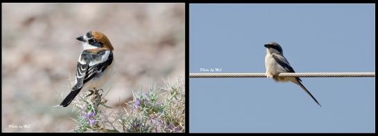 Woodchat Shrike and Great Grey Shrike