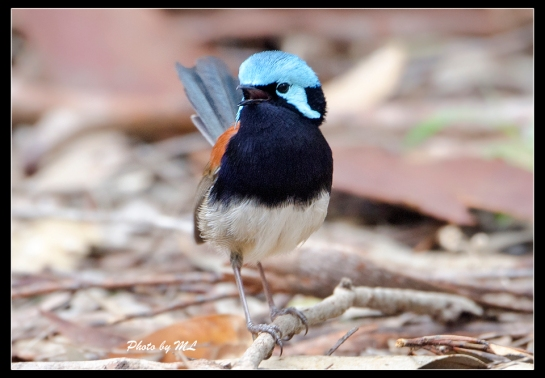 Blue-breasted Fairywren