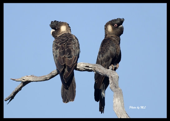 Carnaby's Black-Cockatoo in Stirling Range National Park!