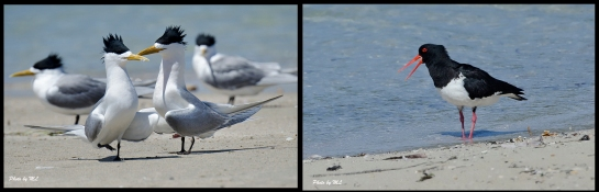 Crested Terns, Pied Oystercatcher