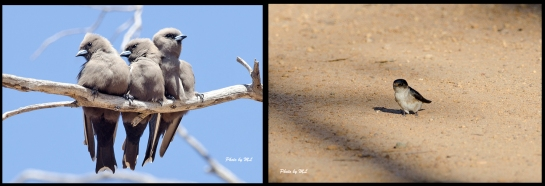 From left- Dusky Woodswallows, Tree Martin
