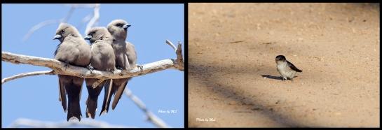 From left- Dusky Woodswallows, Tree Martin