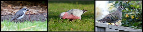 From left- Western Gerygone, Galah, Common Bronzewing