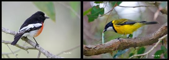 From right- Golden Whistler, Scarlet robin