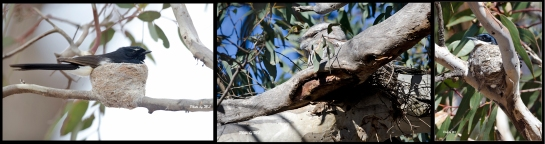 From left- Willie Wagtail, Tawny Frogmouth, Restless Flycatcher