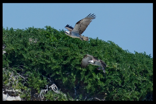 Ospreys, one with fish!