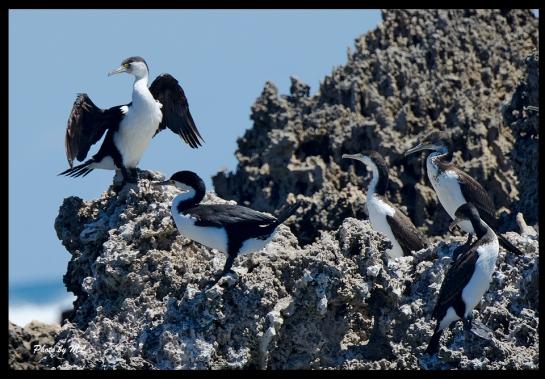 Pied Cormorants!