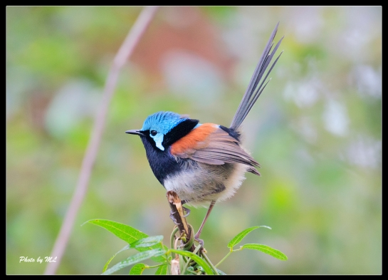 Red-Winged Fairywren