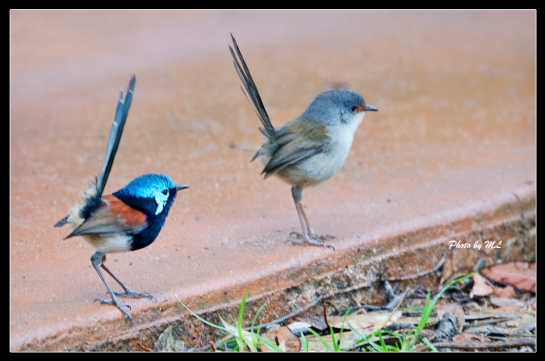 Red-winged Fairywren, male and female