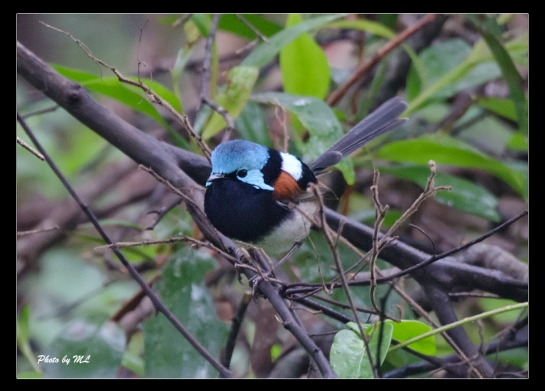 Red-winged Fairywren but with a white back