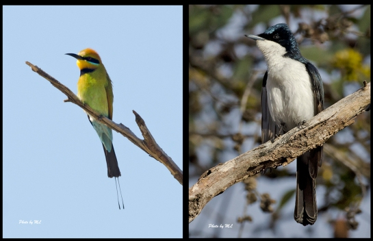 From the left- Rainbow Bee-eater, Restless Flycatcher