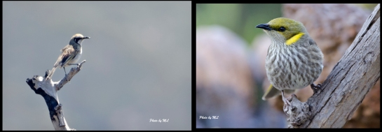 From left- Tawny Crowned Honeyeater, Yellow Plumed Honeyeater