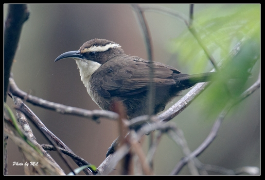 White-Browed Babbler at Gloucester Tree