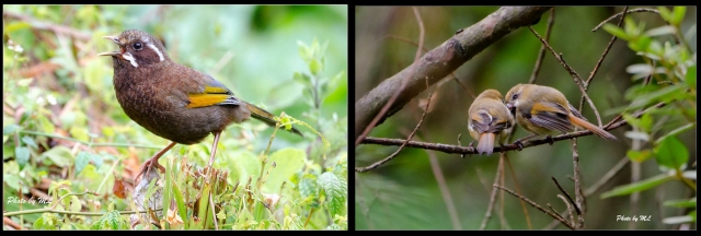 From left- white whiskered laughingthrush, golden parrotbill