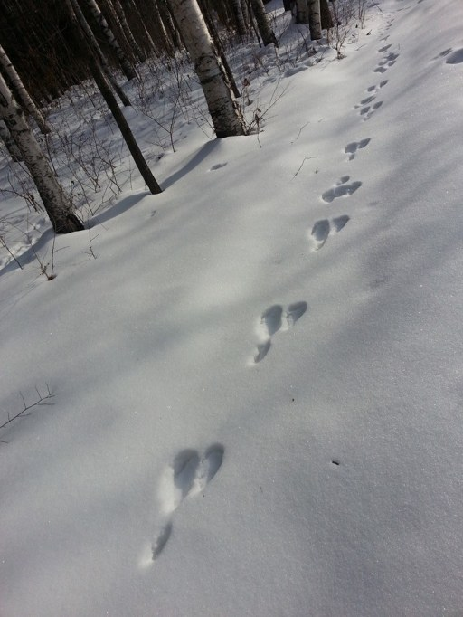 Animal footprints- a Hare?