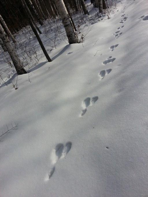 Animal footprints- a Hare?
